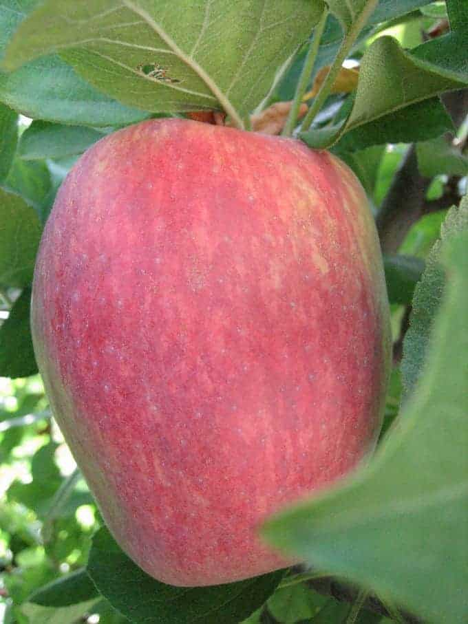 Anna Apple Trees Bijouxs Little Jewels From The